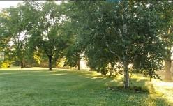 Minnesota Trees: Black Walnuts - Uses for Them