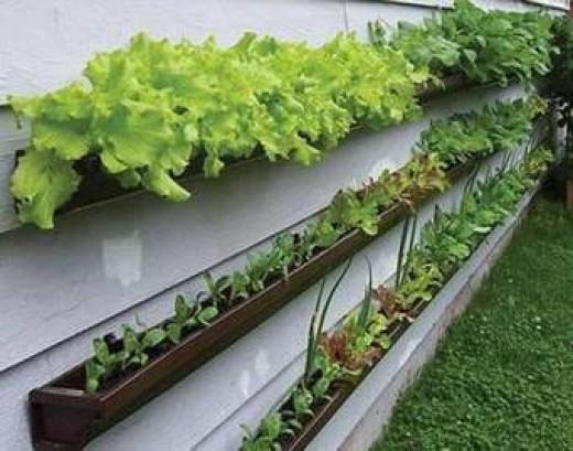 Vertical vegetable growing using rain gutters!