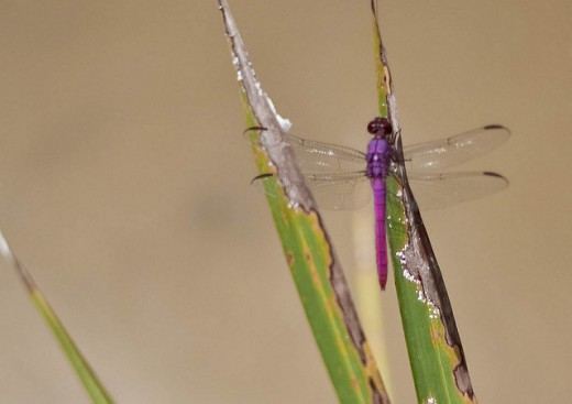 Not a Lavender Dancer, but a dragonfly.