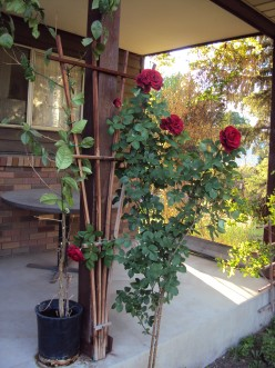 Roses Of 2016