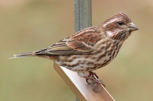 Immature male Purple Finch