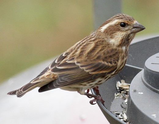 Immatur female Purple Finch
