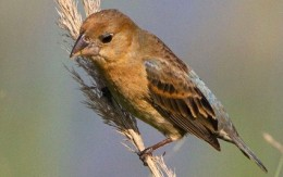 Female Blue Grosbeak