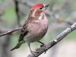 Cassin's Finch: Photos & facts about the cheery finch