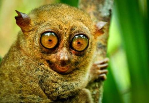 The Philippines Tarsier is the smallest living animal in the county