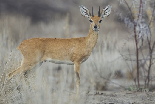 The Steenbok male in Etosha National Park by Yathin S Krishnappa CC BY-SA 3.0