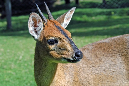 The Common Duiker By Chukupd Public Domain