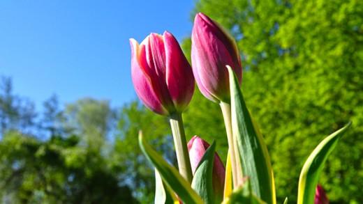 Tulips awakening to spring at Keukenhof Gardens.