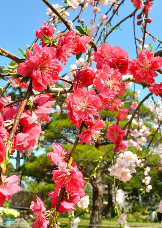 The short-lived blooms of the Sakura is also a Japanese allegory for the ephemerality of life.
