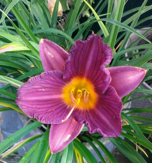 After established, daylilies are surprisingly drought tolerant.
