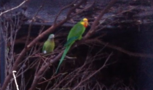 Superb Parrot can be found in dry wood lands of New South Wales and Victoria. It is related to Regent Parrot.