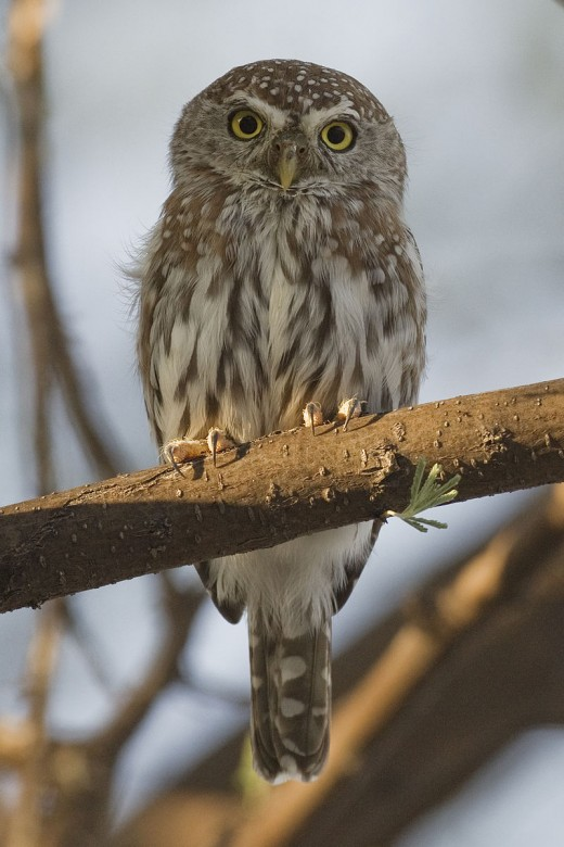 Pearl spotted owl in Etosha National Park  By Yathen S Kreshnappa CC BY-SA 3.0