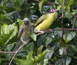 A pair of Australasian Figbirds, Sphacotheres by Jim Bendua CC By-SA 2.0