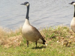 Goose on the Loose ( a Haiku-like poem)
