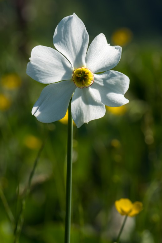 Poet's daffodil (Narcissus poeticus) on a wet meadow near lake Spechtensee, Styria