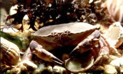 """Pungers,"" Local Name for the Huge, Edible Crabs found along Britain's Shores."