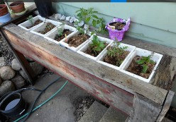 Minnesota Gardening: Using Flower Box for Tomatoes and Peppers