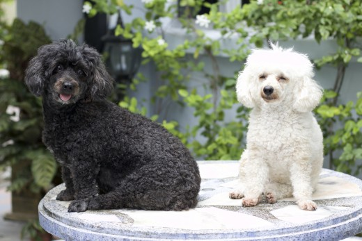 my neighbor's elegant poodles