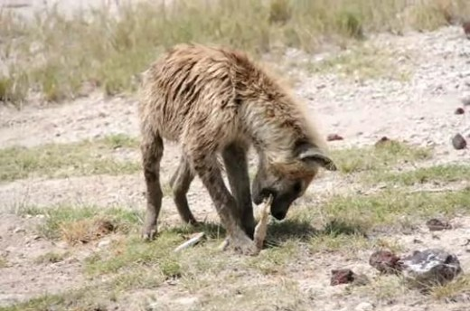 Hyena crushing bones