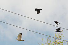 Crows mobbing a red-tailed hawk.