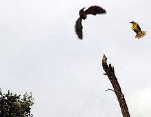 A great kiskadee (right) mobs a hawk.
