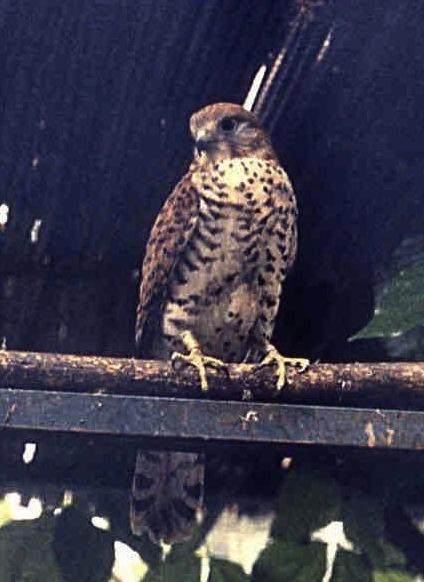 Falco punctatus-Mouritius Kestrel By Jjaragoud CC BY-SA 3.0