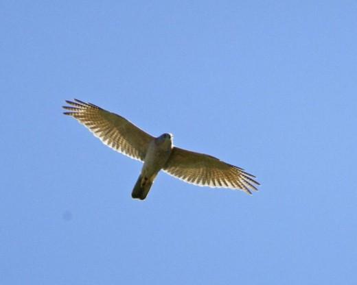 Collard Sparrowhawk By Lip Kee CC BY-SA 2.0