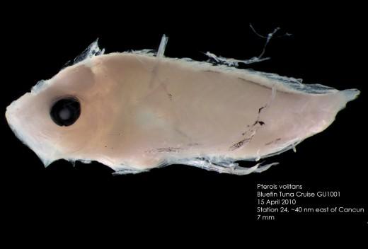 A lionfish larval
