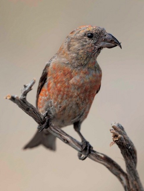Red Crossbill - Immature