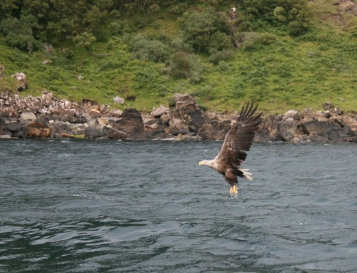 White-tailed Eagle By Drguitaken CC BY-SA 3.0