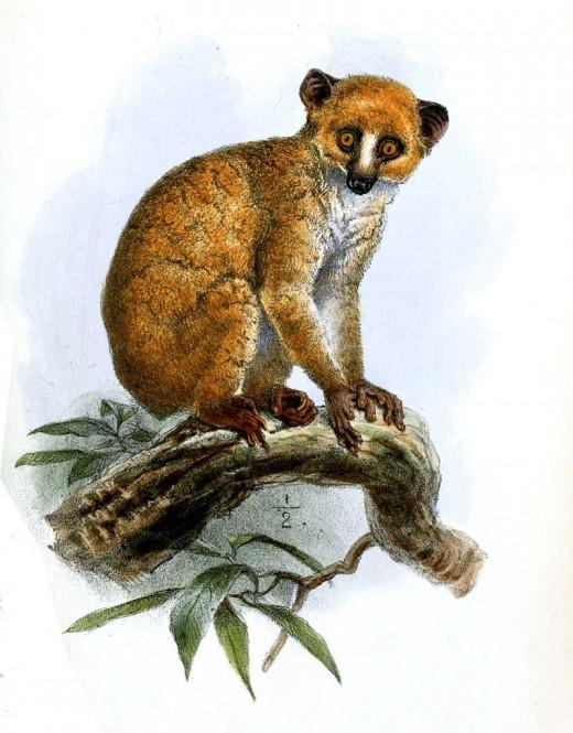 The Calabar Angwantbo Lemur by Josepph Wolf Public Domain