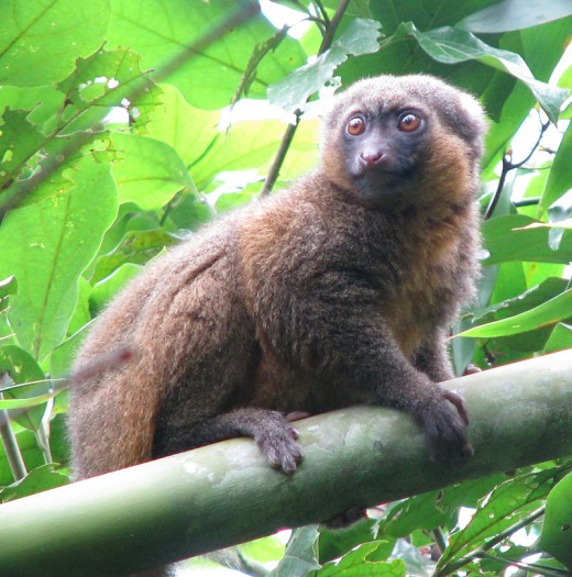The Golden Bamboo Lemur By Rachel Kramer CC BY-SA 3.0