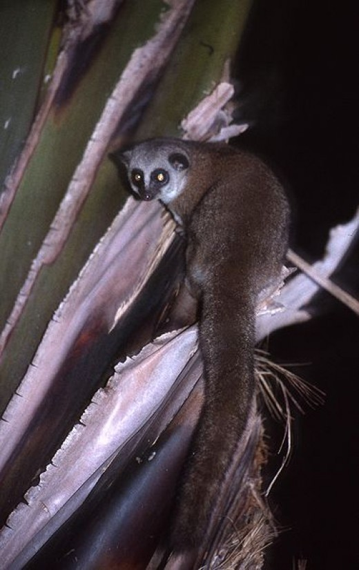 The Greater Dwarf Lemur By Adam Britt CC BY-SA 3.0