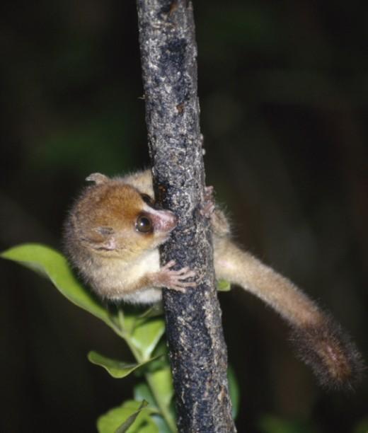 The Hairy-eared Dwarf Lemur by Iraiidh CC BY-SA 3.0