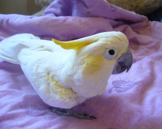Abbott's Lesser Sulphur Crested Cockatoo By Fnda Nyberg CC BY-SA 3.0