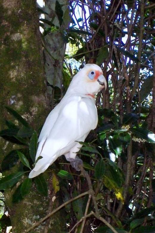 Long-billed Corella Cockatoo By Cudditel CC BY-SA 3.0
