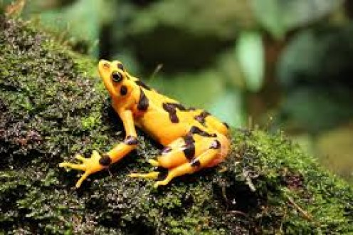 Panamanian Golden Frog (actually a toad).