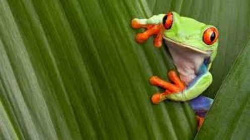 This Red-eyed Tree Frog is on the alert for the Chytrid Frog Fungus.