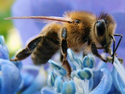The Honey Bee: Threatened Habitat, Threatened Species