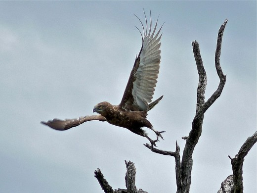 The Brown Snake Eagle By Bernard DUPONT from FRANCE CC BY-SA 3.0