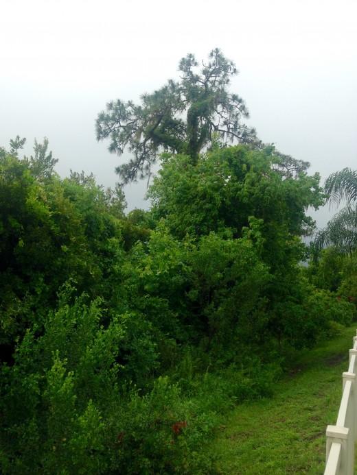 Drooping Florida Pine