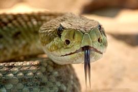 Rattlesnake, very dangerous