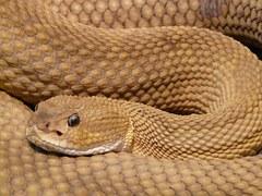 Basilisk  rattlesnake, toxic