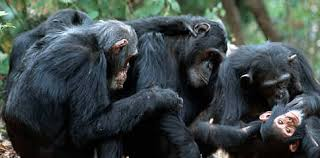 Chimpanzees grooming group mates.