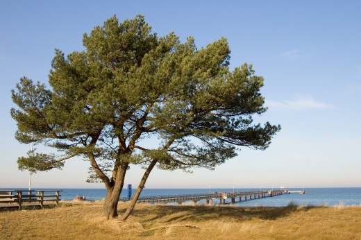 The pier of the seaside resort Prerow in Nordvorpommern, Germany. On the foreground, a Scott's pine (Pinus sylvestris).