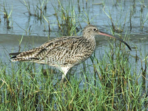Eastern Curlew Cairns, Australia By DickDaniels CC BY-SA 3.0