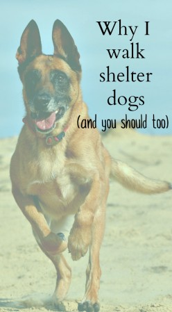 Would you consider dog walking at your local shelter?