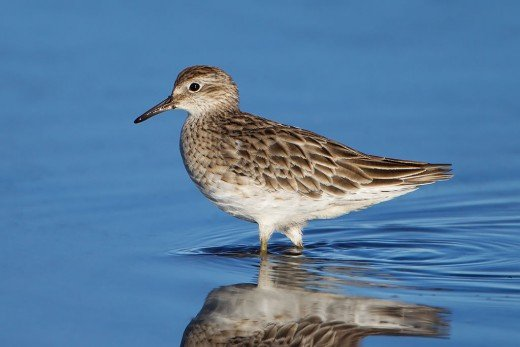 Sharp-tailed Sandpiper By J J Harrison CC BY-SA 3.0