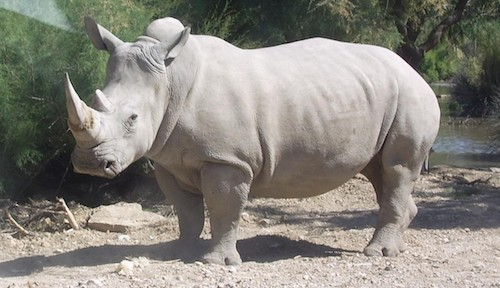 The majestic Northern White rhino