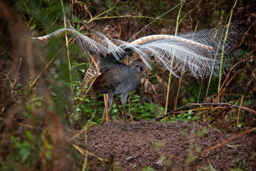 Superb lyrebird mound dance By Fir 2002 GEDL 1.2